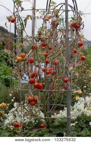 Red Tomatoes hanging on a vine