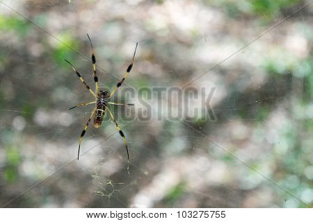 Spider tending its web