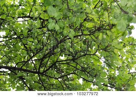Apple Tree Branches With Small Fruit