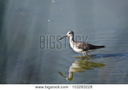 Greater Yellowlegs Hunting In The Shallow Water