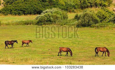 Majestic Graceful Brown Horses In Meadow.