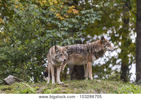A pair of coyotes in the fall season