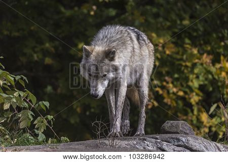 A lone Arctic Wolf in the fall landscape