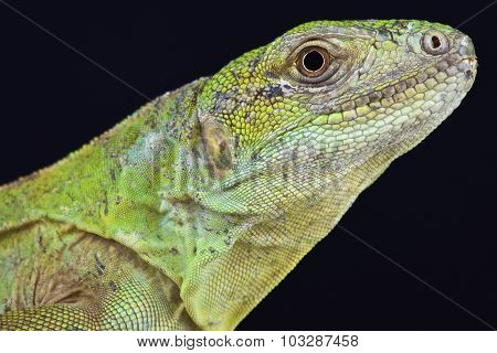 Five-keeled Spiny-tailed Iguana