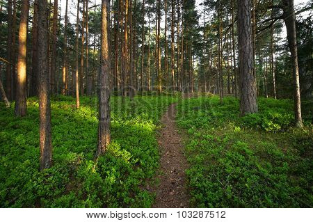 Forest with bilberry bushes