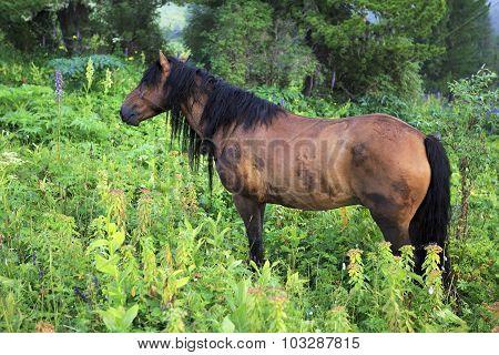 Beautiful bay gelding grazing in an alpine meadow.