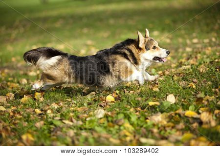 welsh corgi Dog runs fast