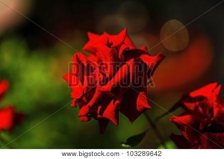 Blooming Rose In The Garden.