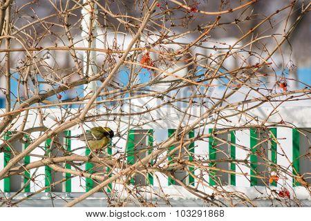 Tit Sitting On A Branch Of Viburnum
