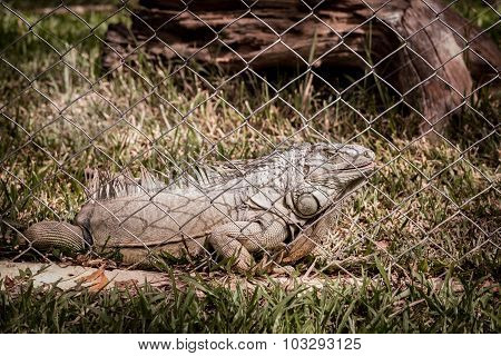 Close Up Of Iguana In Animal Cage