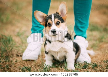 Portrait of young puppy Welsh Corgi dog