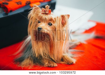 Close Up Cute Yorkshire Terrier Dog