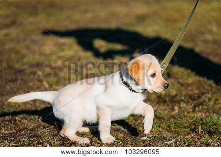 White Dog Labrador Retriever Puppy Whelp Outdoor