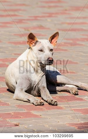 Thai Stray Dog On Floor