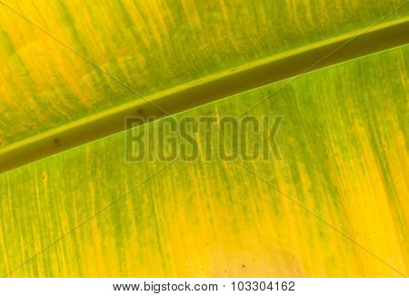 Colorful Of Banana Leaf. Yellow And Green Color