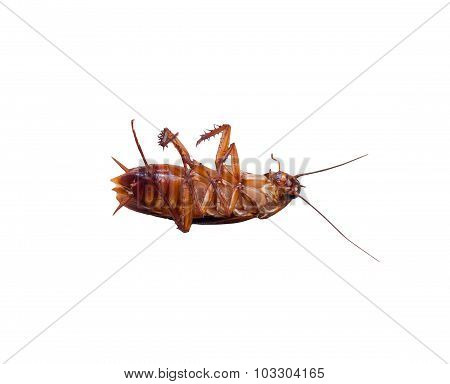 Insect Dead Cockroach Bug On White Background. Isolated