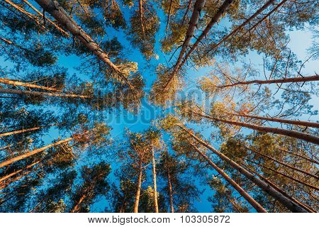 Canopy Of Tall Pine Trees. Upper Branches Of Woods In Coniferous