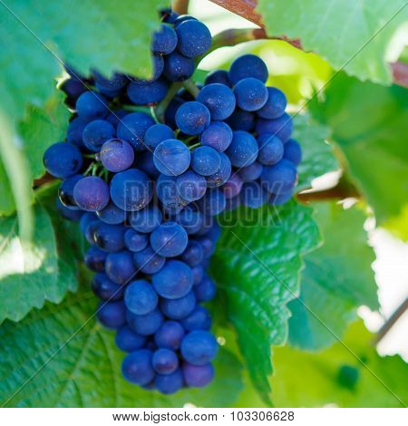 Grapes Ready To Harvest Made By A Vintner