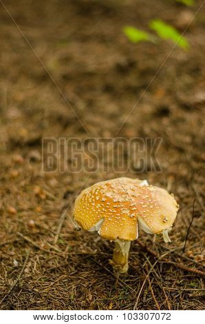 One mushroom in the dark rainy autumn forest