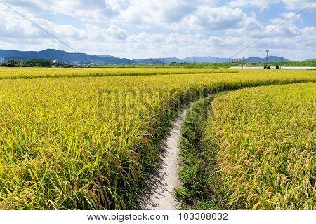 Walking Path in Green Rice Field