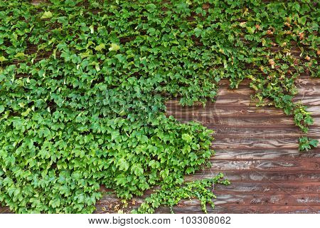 Old wooden wall with green creeper plants