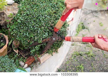 Gardener hands trimming plant in the garden.