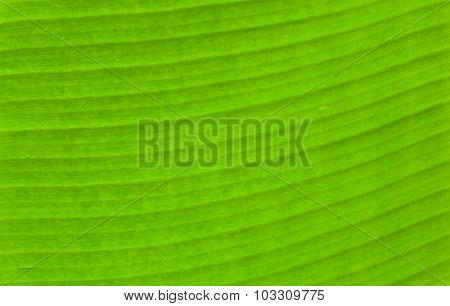Green Textued And Line Of Banana Leaf