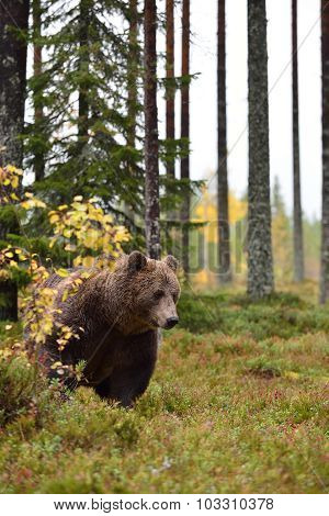 Brown Bear In The Forest At Autumn
