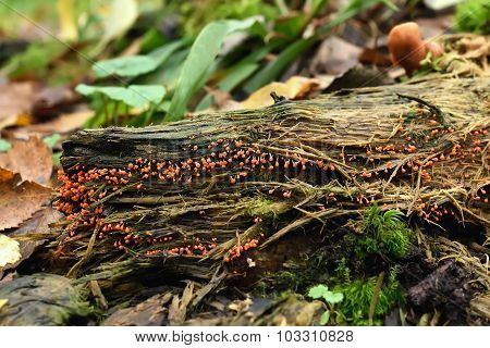 Myxomycota Fungi On Tree Stump In Forest
