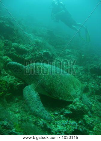 Turtle Diver