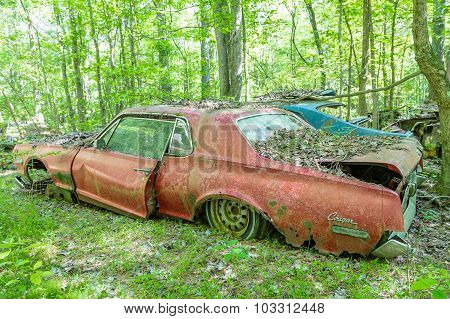 Old Red Cougar In Woods