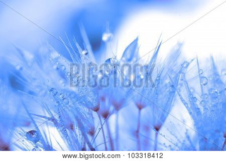 Abstraction in blue: dandelion seeds and drops of dew