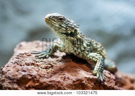 Sungazer, Giant Girdled Lizard (smaug Giganteus)