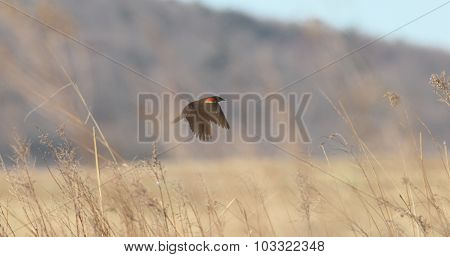Redwing And Grass