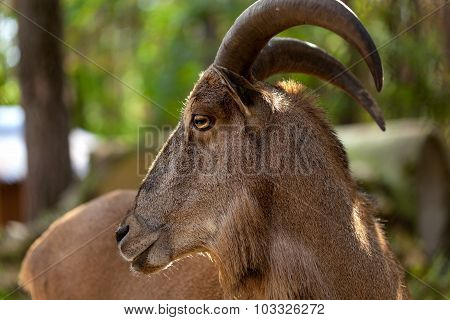 wild markhor  in the forest