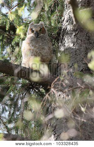 Baby Owl Looking Down