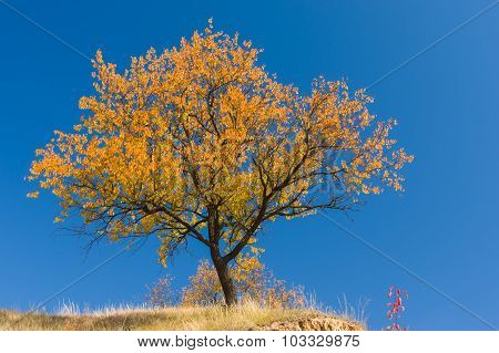 Apricot tree on a hill against blue cloudless sky at autumnal season