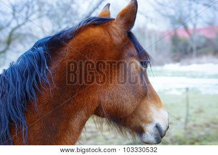 Head Brown Horse and  land in background.