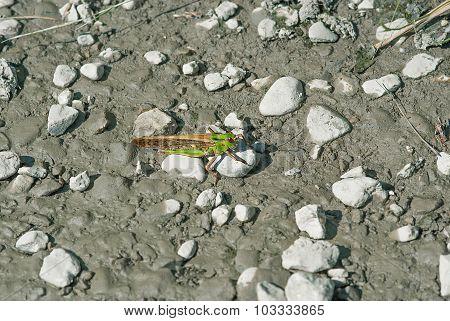 grasshopper on a mud path