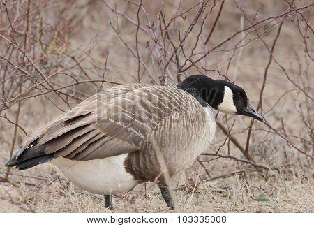 Goose & Briars