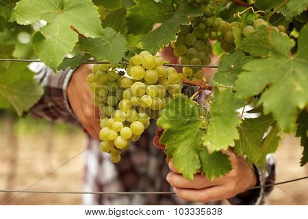 Farmers Hands Holding Secateurs And With Freshly Harvested White Grapes