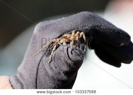 Spider On Black Glove