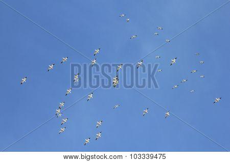Snow Geese & Sky