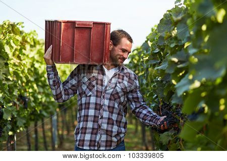 Man Carries A Box On Grapes At Harvesting In The Vineyard