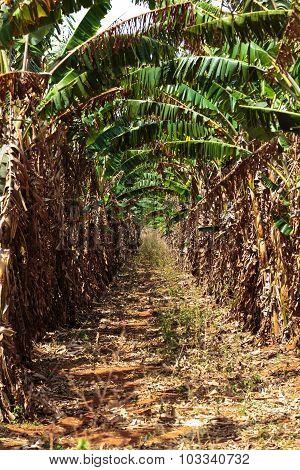 Banana trees plantation in Vinales valley north of Cuba
