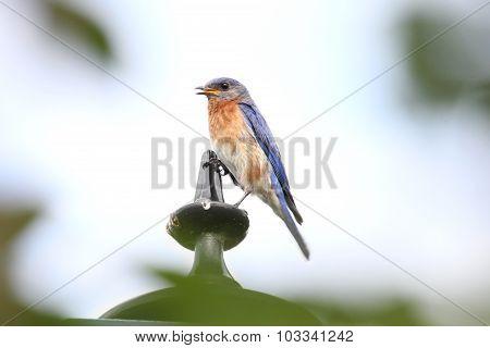 Singing Bluebird Left