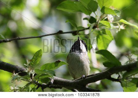 Chickadee Looking Up