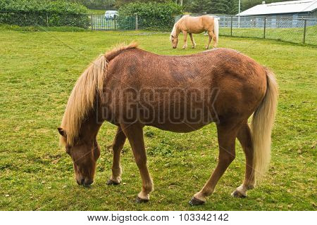 Icelandic horses at pasture on a green meadow