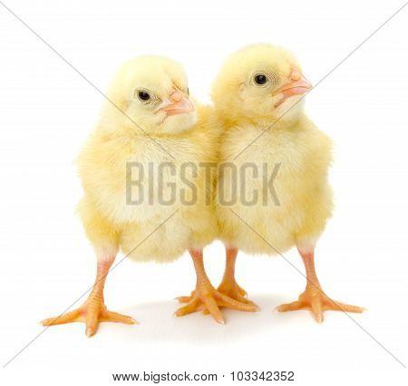 Pair Of Newborn Yellow Chickens