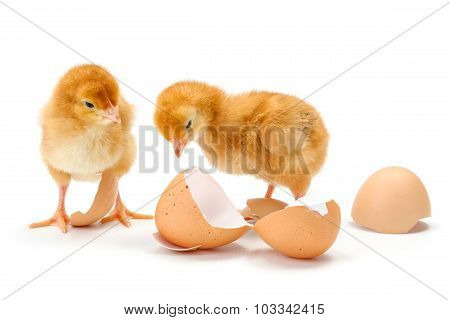 Pair Of Newborn Brown Chickens Along Broken Egg Shells